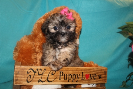 Izzy Female CKC Shihpoo $1750 Ready 3/14 SOLD MY NEW HOME JACKSONVILLE, FL