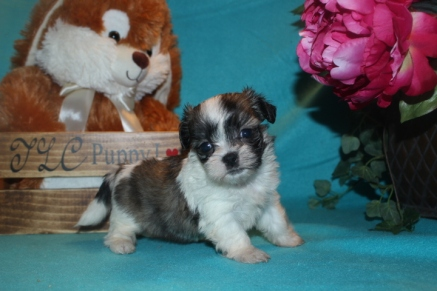 Joy Female CKC Malshi $1750 Ready 3/29 SOLD MY NEW HOME MELBOURNE, FL