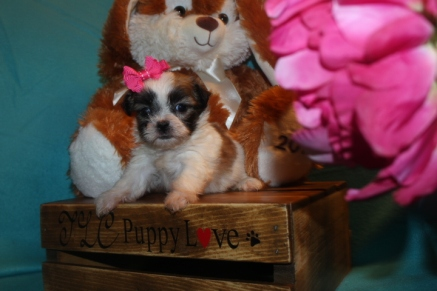 Peace Female CKC Malshi $1750 Ready 3/29 AVAILABLE
