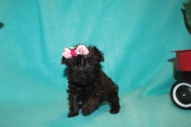 Sassy Female T-cup CKC Yorkipoo $2000 Ready 3/6 HAS DEPOSIT MY NEW HOME PALM HARBOR, FL