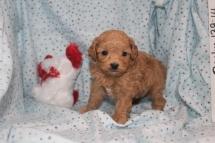 Snoopy Male Maltipoo $1750 Ready 3/17 HAS DEPOSIT MY NEW HOME MIAMI, FL