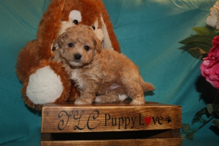 Sonny Male CKC Maltipoo $1750 Ready 3/26 SOLD MY NEW HOME JACKSONVILLE, FL