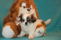 Buster Male CKC Shorkie $1750 BUT WAIT EASTER SPECIAL $999 Ready 2/21 SOLD MY NEW HOME TAMPA, FL