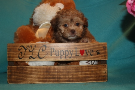 Champ Male CKC Shihpoo $2000 Ready 3/3 SOLD MY NEW HOME JACKSONVILLE, FL