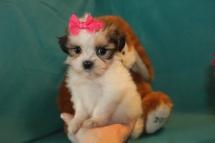 Itsy Bitsy Teenie Weenie Female CKC Shihpoo $2000 Ready 3/14 SOLD MY NEW HOME JACKSONVILLE, FL