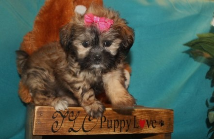 Iris Female CKC Shihpoo $1750 Ready 3/14 SOLD MY NEW HOME HILLIARD, FL