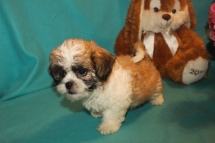 Loki Male Imperial CKC Shih Tzu $1750 BUT WAIT EASTER SPECIAL $999 Ready 2/22 SOLD MY NEW HOME FERNANDINA BEACH, FL