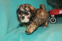 Sweetie Female CKC Shihpoo $1750 ready 2/10 AVAILABLE