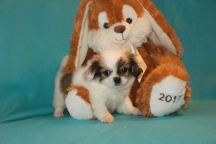Buster Male CKC Shorkie $1750 Ready 2/21 AVAILABLE