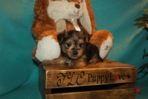 Elvis Male CKC Morkie $1750 Ready 3/28 SOLD MY NEW HOME ST AUGUSTINE,