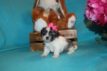 Joy Female CKC Malshi 5Wks 1.4lbs