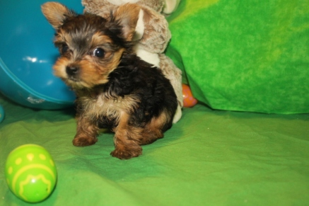 Peanut Male CKC T-cup Yorkie $2000 Ready 4/10 SOLD MY NEW HOME JACKSONVILLE, FL