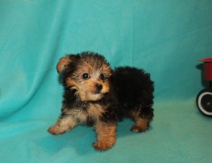 Biscuit Male CKC Yorkipoo $1750 Ready 2/22 SOLD MY NEW HOME DENVER, CO
