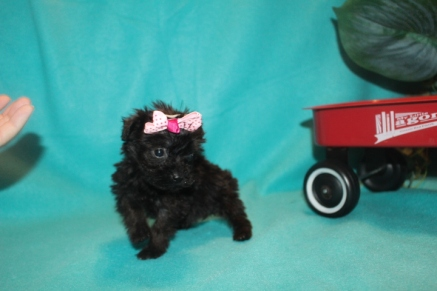 Sassy Female T-cup CKC Yorkipoo $2000 Ready 3/6 SOLDMY NEW HOME PALM HARBOR, FL