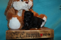 Bam Bam MaleT-Cup Yorkipoo $1750 Ready 3/30 SOLD MY NEW HOME JACKSONVILLE, FL