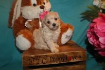 Cher Female CKC Maltipoo $1750 Ready 3/26 SOLD MY NEW HOME PONTE VEDRA BEACH, FL
