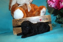 Joey Male CKC Maltipoo $1750 Ready 4/8 SOLD MY NEW HOME AT AUGUSTINE, FL