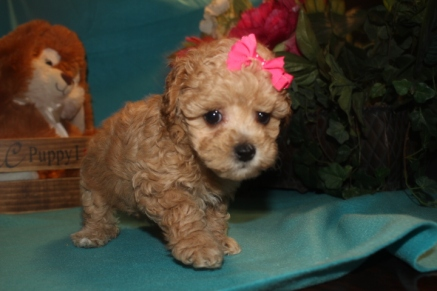 Lucy Female Maltipoo $1750 Ready 3/17 SOLD MY NEW HOME JACKSONVILLE, FL