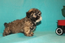 Sweetie Female CKC Shihpoo $1750 but wait special now $1500 Ready Now SOLD MY NEW HOME MIAMI, FL