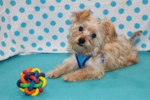 Einstein Male CKC Shorkie $1750 BUT WAIT SPECIAL $1250 WITH ALL HIS VACCINES INCLUDING RABIES 4.14 LBS 17 WKS SOLD