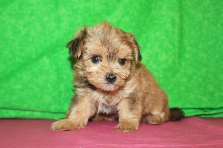 Mozart Male CKC Shorkie $1750 Ready 5/6 SOLD MY NEW HOME FL