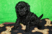 Pablo Male CKC Mini Labradoodle $1750 PUPPY SPECIAL $1500 Ready 5/8 5W1D 2.3lbs HAS DEPOSIT MY NEW HOME CHARLOTTE, NC