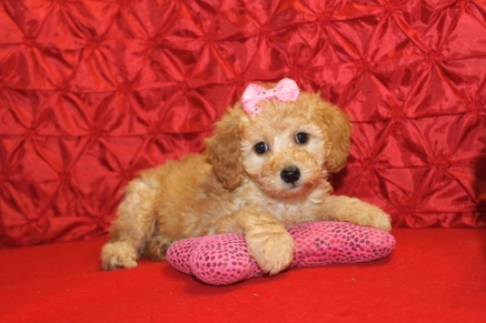 Penelope Female CKC Mini Labradoodle $1750 Ready 5/8 7W2D 3.1 Lbs SOLD MY NEW HOME JACKSONVILLE, FL