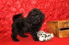 Presley Male CKC Mini Labradoodle $1750 BUT WAIT PUPPY SPECIAL $1500 Ready 5/8 SOLD MY NEW HOME MIDDLEBURG, FL 7W2D 2.11 lbs