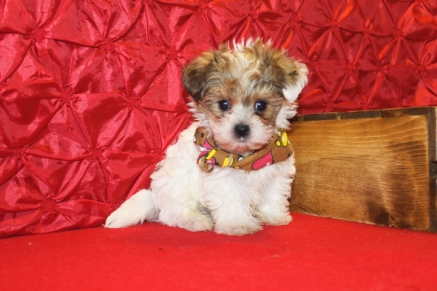 Sidney Male CKC Shorkipoo $1750 Ready 5/10 SOLD MY NEW HOME FLEMINING ISLAND, FL 7 WKS 1.11LBS