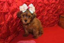 Sofie Female CKC Shorkipoo $1750 Ready 5/10 SOLD MY NEW HOME SPRINGFIELD, IL 2.15LBS 7 WKS