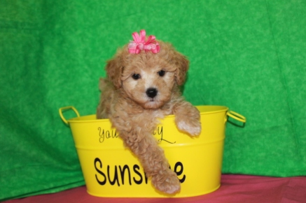 Spinoni Female CKC Morkipoo $1750 Ready 4/26 SOLD MY NEW HOME SAVANNAH, GA 6W5D 2.11LBS