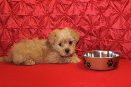 Sylvester Male CKC Shorkipoo $1750 Ready 5/10 7 WKS 3.2 lbs SOLD MY NEW HOME JACKSONVILLE, FL