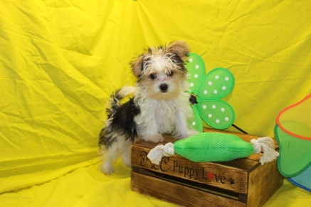 Shakespeare Male CKC Shorkie $1750 Ready 5/6 SOLD MY NEW HOME ORANGE PARK, FL 12W2D 3.6LBS