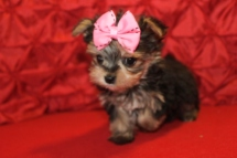 Tink Tiny Female T-cup Morkie $2000 Ready 5/7 SOLD 7W3D 1.2 LBS MY NEW HOME IS SUMMERVILLE, SC