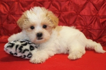 Maxamillion Male CKC Malshipoo $1750 Ready 5/10 SOLD MY NEW HOME JUPITER, FL 7wks 2.5lbs