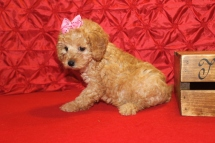 Pixie Female CKC Mini Labradoodle $1750 Ready 5/8 7W2D 2.4 lbs SOLD MY NEW HOME JACKSONVILLE, FL