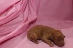 Female CKC Mini Labradoodle $1750 Ready 5/8 HAS DEPOSIT