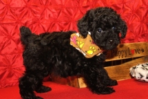 Pierre Male CKC Mini Labradoodle $1750 PUPPY SPECIAL $1500 Ready 5/8 SOLD MY NEW HOME SUWANEE, GA 7W2D 2.1 lbs