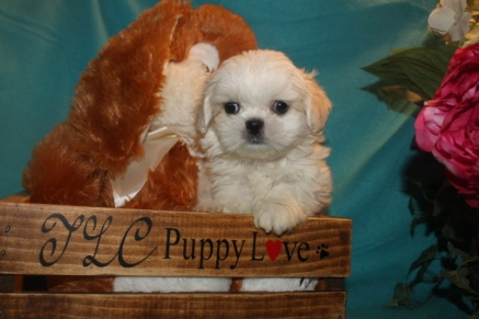 Gucci Male CKC Imperial CKC Shih Tzu $1750 SOLD MY NEW HOME ORANGE PARK FL