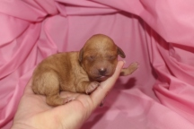 Piper Female CKC Mini Labradoodle $1750 Ready 5/8 HAS DEPOSIT