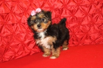 Sadie Female CKC Shorkipoo $1750 Ready 5/10 SOLD AUSTIN, TX 7 WKS 2.15 LBS