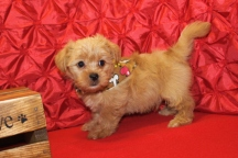 Sylvester Male CKC Shorkipoo $1750 Ready 5/10 SOLD MY NEW HOME JACKSONVILLE, FL 7 WKS 3.2 lbs