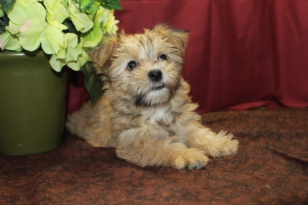 Tesia Female CKC Shorkie $1750 Ready 5/6 SOLD MY NEW HOME ROYAL PALM BEACH, FL 9W4D 2.13 lbs