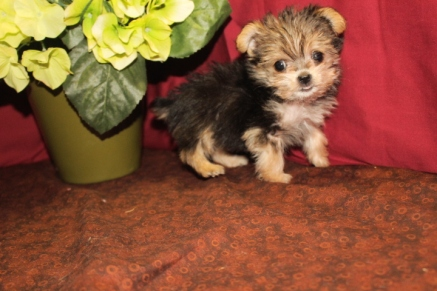 Squirt Female CKC T-Cup Morkie $2000 Ready 5/7 SOLD MY NEW HOME WAVERLY, GA 9W1D 14.5 oz