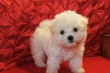 Sundae Female CKC Morkipoo $1750 Ready 4/26 SOLD MY NEW HOME IS MA 9 WKS 2.8 LBS