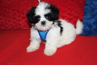 Bandito Male CKC Malshipoo $1750 Ready 6/20 7W5D 2.3 LBS SOLD MY NEW HOME CLEAR WATER, FL