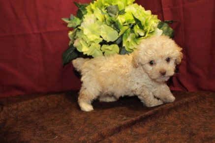 Boo Boo Male CKC Maltipoo $1750 Ready 5/27 SOLD MY NEW HOME JACKSONVILLE, FL 6W3D 1.11 lbs