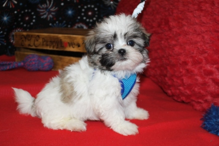 Buckaroo Male CKC Malshipoo $1750 Ready 6/20 SOLD MY NEW HOME AUSTIN, TX 7W5D 1.14LBS
