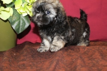 Caddy Male CKC Shihpoo $1750 BUT WAIT PUPPY SPECIAL $1500 Ready 5/21 AVAILABLE 7W2D 2.4lbs