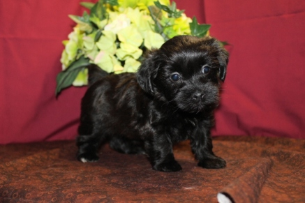 Cassidy Female CKC Morkipoo $1750 Ready 6/3 SOLD MY NEW HOME FLEMING ISLAND, FL 2.3 LBS 5W3D